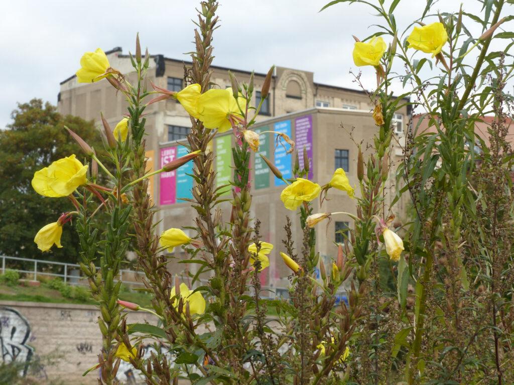 Blick über die Chemnitz zum Weltecho mit zarten gelben Blüten im Vordergrund. An der Häuserfront des Weltechos hängen farbige Banner mit Text.
